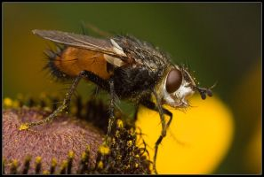 Fly on a flower by Matth30
