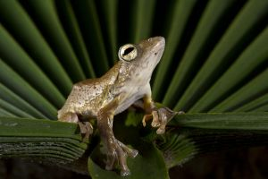 Tramlap Flying Treefrog by AngiWallace