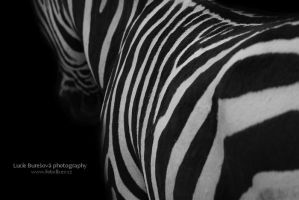 Zebra by bureska