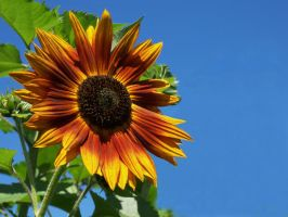 Sunflower by Stolte33