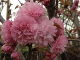 Cherry  Blossoms! by bluecowmonkey