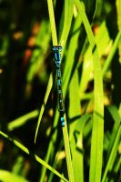 Male Damselfly at Rest by EarthHart