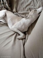 a whippet's life by leafshimmerphoto