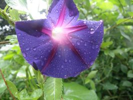Rain on a Morning Glory by AGirlWithDreams96