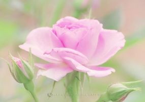 Delicate-Pink-Rose by SharonLeggDigitalArt