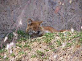 dhole by ibartley