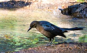 Texas Grackle by FallOut99