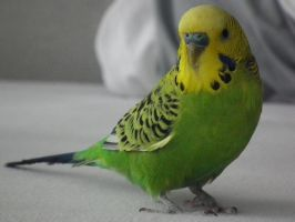My budgie by teken-lovers
