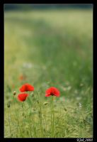 Poppies by Klek