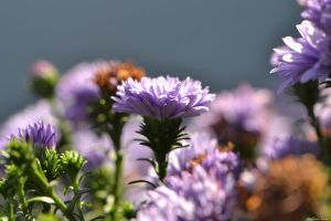 Perennial Asters by WickedOwl514