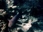 Nurse Shark by Oiseauarcenciel