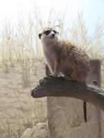 The World's Most Inspirational Meerkat by SubRosa-undertherose