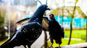Pigeons In my Balcony 4 by GraphicsHunter94