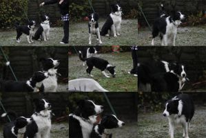 Collie Dogs 10 by Tasastock