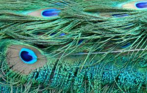 Stock Texture - Peacock eye feathers by rockgem