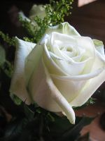 Green Rose 4 by looking-for-hope