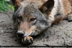 Iberian Wolf 20 by Canisography