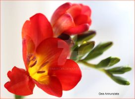 RED FREESIA by GeaAusten