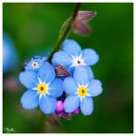 forget-me-not VII by PajonK