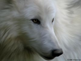 arctic wolf by CoraxCorvidae