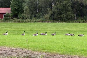 The Wild Geese by duncan-blues