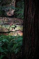 Muir Woods by alienhunny