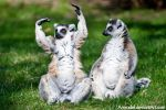 Ring-tailed Lemurs VII by amrodel