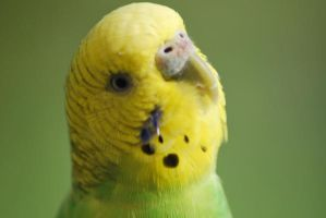 budgie by HCL02