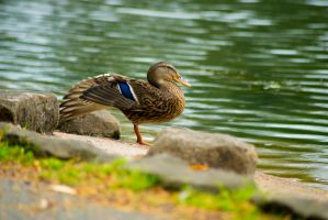 Rouken Glen Duckies 01 by Tech-Dave
