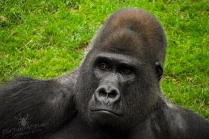 Silverback Gorilla by TheFunnySpider