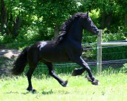 Friesian STOCK by LarissaAllen