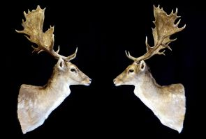 Fallow Reflection by WeirdCityTaxidermy