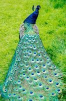 let me see your peacock. by Miss-evill