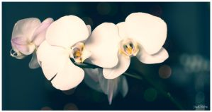 Orchids 2 by Jack-Nobre