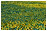 Sunflower Central by joerossbach