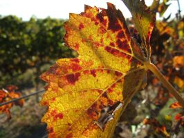 Autumn grape leaf by mirator