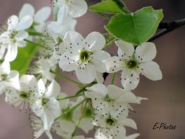 Bradford Pear Tree in Bloom by envanatta42