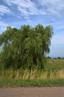 Roadside Willow by Dramier