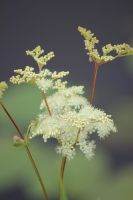 Meadowsweet (Queen of the meadow) by harlia