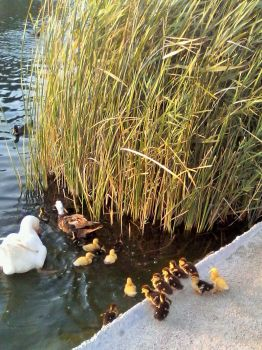 To the water ducks. by roundtower