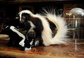 Skunk mount by Meddling-With-Nature