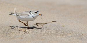Piping Plover DT6 7087-1 by detphoto