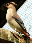 Japanese Waxwing II by In-the-picture