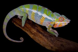 Chameleon portrait by AngiWallace