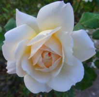 Soft Pink Rose - Rose pale by Cloudwhisperer67