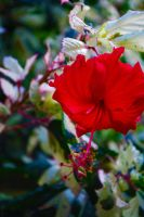 Red Hibiscus by excess1ve