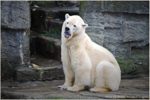 Icebear by brijome