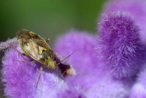A Bug in Lavender by FeralWhippet