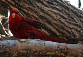 Denver Zoo 249 Lorikeet by Falln-Stock