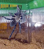 Cobalt Blue Tarantula by Jenn-Coney1976